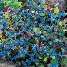 grows in rocky clay A fast-spreading perennial with showy blue fall flowers and mahogany foliage.