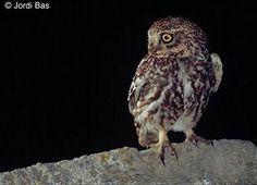 Animals del nostre entorn: Ocells - El mussol