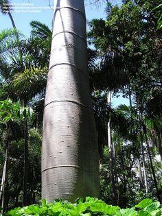 Quipo (Cavanillesia platanifolia)