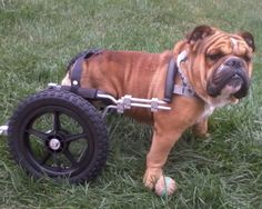 UPDATE:Colton11/27/11 is an adoptable English Bulldog Dog in Rapid City, SD. UPDATE: 11/27/11 Colton was fitted for his cart and it arrived. It was too big, so we had to make some adjustments to it. T...