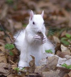 White squirrel...saw him running around the other day in Belle River :)