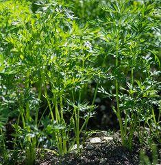 Plantar zanahorias en el huerto ecológico