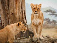 Africa animal big carnivore