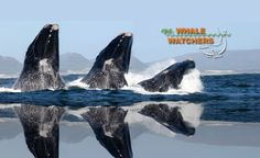 Book an unforgettable Whale Watching trip today with Hermanus Whale Watchers, a boat-based whale watching company in South Africa. Hermanus is the capital of the Cape Whale Coast, and about an hour from Cape Town in South Africa. Whale Watching, Coast, Africa, School, Animals, Beautiful, Animales, Animaux, Schools