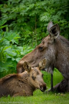 moose mother with calf  Do you remember all the animals we saw at Glacier National Park? You loved the moose the best.