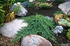 Juniperus procumbuns 'Nana'
