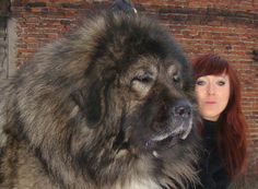 Caucasian Mountain Dog (aka Russian Bear Dog) males reach over and have historically been used to hunt bears. Caucasian Dog, Caucasian Shepherd Dog, Russian Caucasian, Huge Dogs, Giant Dogs, Beautiful Dogs, Animals Beautiful, Russian Bear Dog, Le Plus Grand Chien