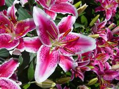 My favorite flowers, Stargazer Lillies