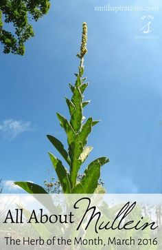 All About Mullein, The Herb of the Month for March 2016. When it comes to supporting the respiratory system, few herbs are as gentle and effective as mullein. Both the flowers and the leaves are a valuable part of the herbal home remedy cabinet! Learn how to use mullein and what mullein is good for: