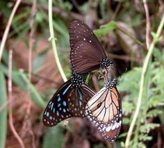 Why have the migratory butterflies in the south stopped their journey this year?