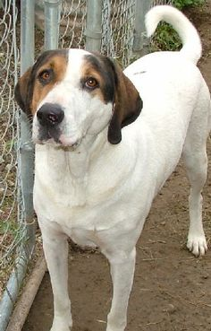 Ruby--dog195 http://mshoogys.com/adopt_us_dogs.htm Coonhound (mix?)