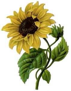 Vintage Graphic - Beautiful Sunflower #2 - The Graphics Fairy