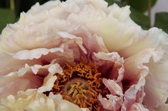 Peony - photo taken by Wendy Sinclair at Chinoserie Garden Mittagong 30.9.13