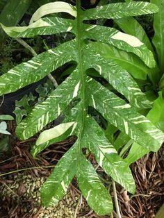 Drynaria Quercifolia Variegated Epiphyte, Elephant Ears, Rare Plants, Ferns, Indoor Plants, Plant Leaves, Landscape, Garden, Nature