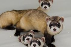 Funny Pictures of Ferrets | ferrets | Funny Ferrets