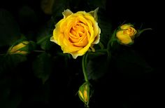 Rose yellow by Toni Panjaitan -  Click on the image to enlarge.