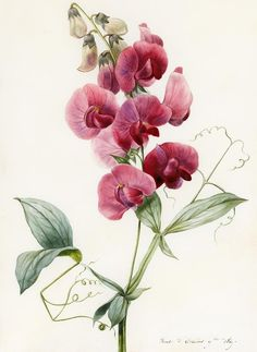 Vintage Illustration Lathyrus latifolius (Everlasting Pea) (watercolor on paper), D'Orleans, Louise orchid - Vintage Illustration, Illustration Blume, Floral Illustrations, Vintage Botanical Prints, Botanical Drawings, Vintage Art, Vintage Pink, Vintage Drawing, Botanical Flowers