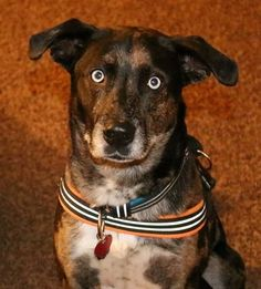 Buddy-gorgeous boy! is an adoptable Catahoula Leopard Dog Dog in Hadley, MI This is Buddy who arrived to our local animal shelter as a stray!  One of the shelter volunteer ... ...Read more about me on @Petfinder.com.com.com.com