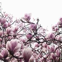 blooming tulip magnolias Love these! Flora Flowers, Flowers Nature, Beautiful Flowers, Beautiful Pictures, You Make Beautiful Things, Beautiful World, Bonsai Art, Scenery Photography, Rustic Colors