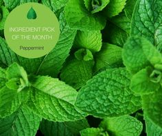 Steam distilled from the fresh leaves of the herb. Peppermint is natural antiseptic, anti-ulcer, anti-viral and anti-inflammatory. It also has a deliciously refreshing taste!  Check out Miessence Mint Toothpaste here: http://www.miessence.com/mariebeermann/en/product/13101/mint-toothpaste