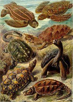 Ernst Haeckel — Kunstformen der Natur (1904), plate 89: Chelonia