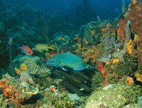 Un pez loro verde, que se alimenta raspando corales y rocas con su boca en forma de pico; es muy común en los arrecifes coralinos del Caribe.