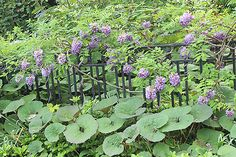 Clothe a fence in beauty, without bending it:  Plant demure Wisteria frutescens 'Amethyst Falls'.