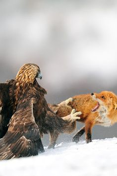 Golden eagle having a discussion with Red fox. Photo by Yves Adams.