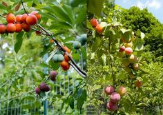 Artist Creates Tree Able to Grow 40 Different Kinds of Fruit at Once - http://www.odditycentral.com/news/artist-creates-tree-able-to-grow-40-different-kinds-of-fruit-at-once.html