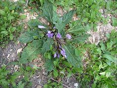 Alraune, gefunden auf Sizilien (Segeste) Kraut, Plants, Poisonous Plants, Sicily, Pictures, Plant, Planets