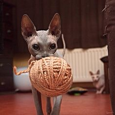 Sphynx kitten has yarn, needs someone to crochet her a soft kitty sweater. I Love Cats, Cute Cats, Funny Cats, Funny Animals, Cute Animals, Diy Funny, Crazy Cat Lady, Crazy Cats, Beautiful Cats