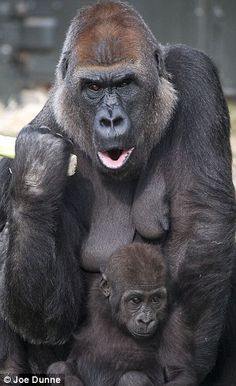 mother gorilla ~ yeah think I'll just go this other way.. I get it mama! I'm the same with my daughter!!