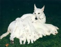 White German shepherd puppies what're they like?