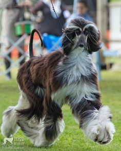 Beautiful Afghan Hounds --- Curated by Noah's Ark Mobile Veterinarian Service   784 Raymer Rd, Kelowna BC V1X1A2   (250) 212-5069