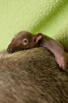 Baby anteater. Every baby animal is cute.