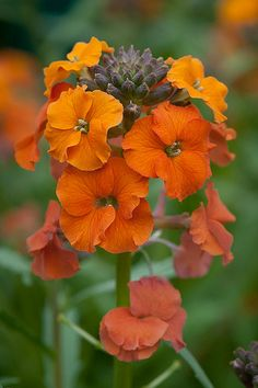 Erysimum 'Apricot Delight' Wallflower