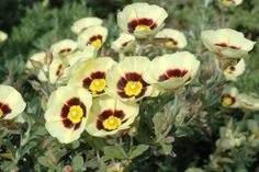 ~The cistaceae (rockrose) shrub secretes a resin, called labdanum, that was a popular ingredient in ancient perfumes.