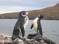 Shifting Winds, Ocean Currents Doubled Endangered Galapagos Penguin Population