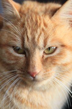 Stunning ginger cat ❤️   follow @sophieeleana