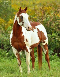 Amazing Paint Horse.