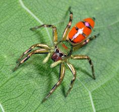 Jumping Spider - Cosmophasis sp. A beautiful jumping spider from Indonesia