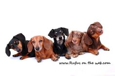 Meet Johnny Ortez-Tibbels—Dachshund Photographer - Agoura Hills, CA Patch