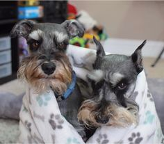 """Discover even more info on """"miniature yorky pups"""". Check out our site. Mini Schnauzer Puppies, Miniature Schnauzer, Yorky, Yorkshire Terrier Puppies, Dog Rules, Beautiful Dogs, Best Dogs, Fur Babies, Cute Pictures"""