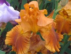 Plant these ever-popular bulbs in fall to ensure a garden bursting with colors in spring Traditional  Bearded Iris Chelsea Flower Show 2010