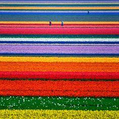 perhaps tulips