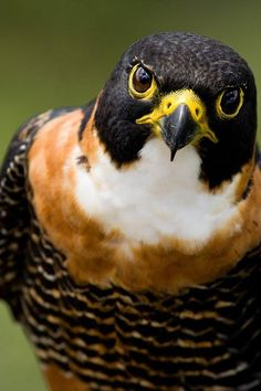 Orange-breasted Falcon. It is found from southern Mexico to northern Argentina. It's a medium-sized falcon at 14–16 in long and a weight of 11.5 oz.-1.5 lbs. It is a bird predator, with strong talons that enable it to catch prey in flight, and is considered by some consider as filling the ecological niche of the Peregrine Falcon as a breeding species in tropical America.