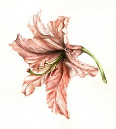 Pink Lily Flower- Botanical Art - Coral Lily  - Art Print of watercolor painting 8x10