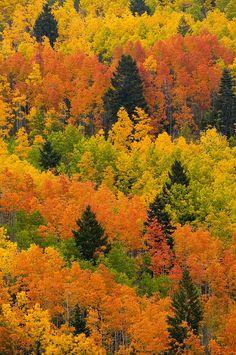 ✮ Quaking Aspen and Ponderosa Pine trees display fall colors