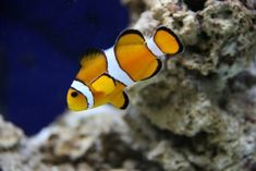 clownfish-an example of a great saltwater starter fish