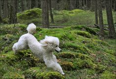 The truths that only poodle owners know and understand Yes poodles love running around forest I know mine do